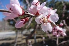 2-Pink-Blossoms