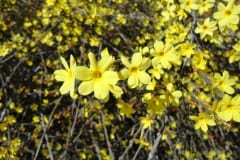 4-Yellow-Blossoms